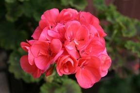 Geranium in bloom.