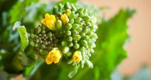 broccoli7ag
